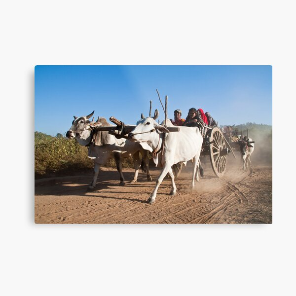 Ox power - the 'new' environmentally green solution? Metal Print