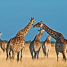 Giraffes' gathering by Konstantinos Arvanitopoulos