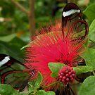 GlassWing Butterflies by AnnDixon