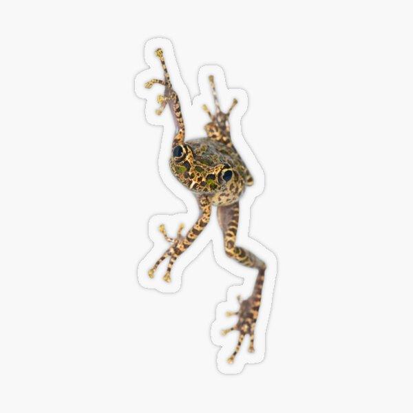 Spinomantis sp. aff. peraccae Transparent Sticker