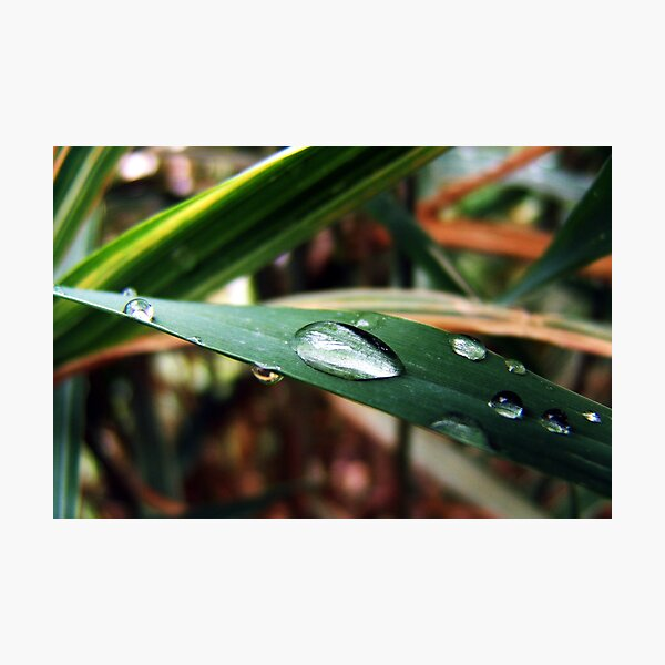Water Droplets On A Blade Of Grass Photographic Print