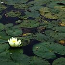 Water Lily On The Mississippi by Don White