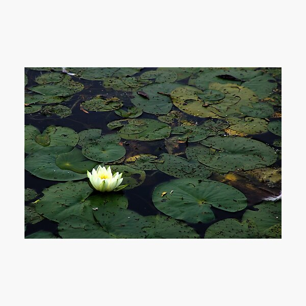 Water Lily On The Mississippi Photographic Print