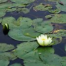 Two Water Lilies On The Mississippi by Don White