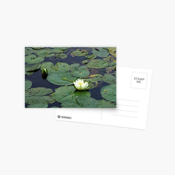 Two Water Lilies On The Mississippi Postcard