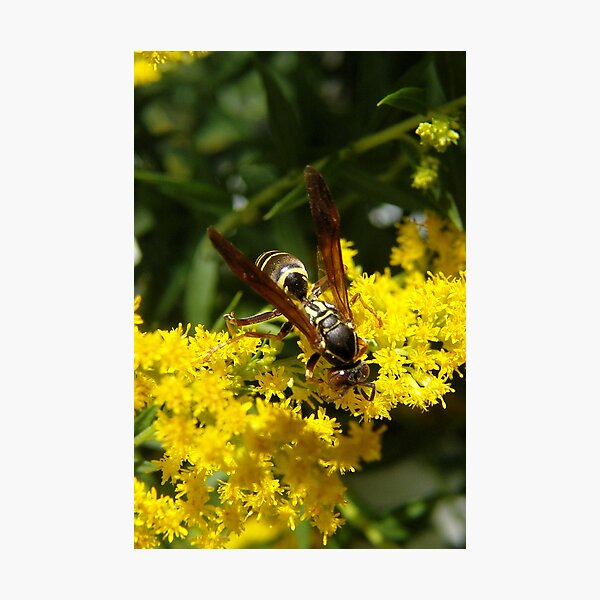 Wasp Checking Out The Goldenrod Photographic Print