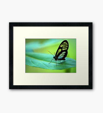Glasswing Butterfly - Bolivia Framed Print