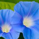 Pair of Blue Morning Glories by Oscar Gutierrez