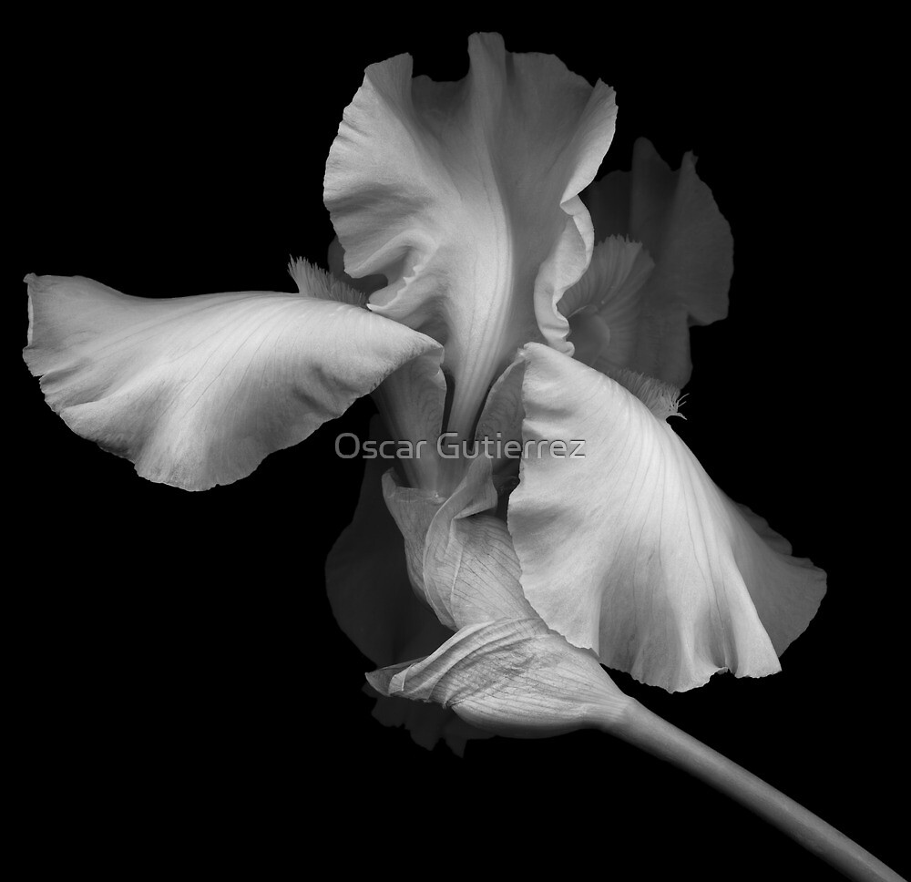 Elegant Bearded Iris by Oscar Gutierrez