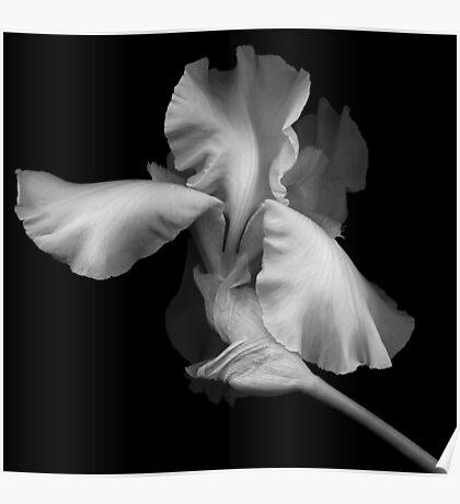 Elegant Bearded Iris Poster