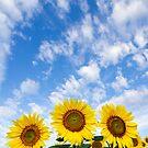 Three Sunflowers by Oscar Gutierrez
