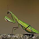 Praying Mantis Waiting to be Bugged  by Chuck Gardner