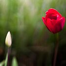 Red Tulip & Bud by Mark German