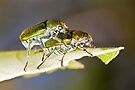 Green Scarab Beetles - Diphucephala sp. by Jason Asher