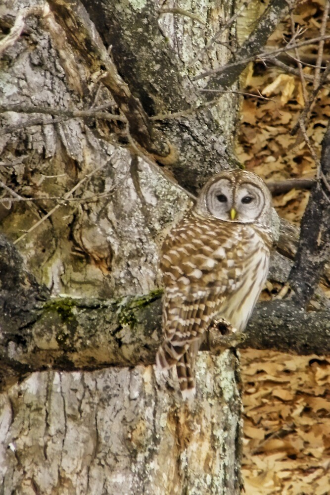 Who Gives A Hoot by Pamela Phelps