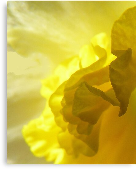Daffodil abstract by Photos - Pauline Wherrell