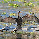 Synchronized cormorant wing drying by Anthony Goldman