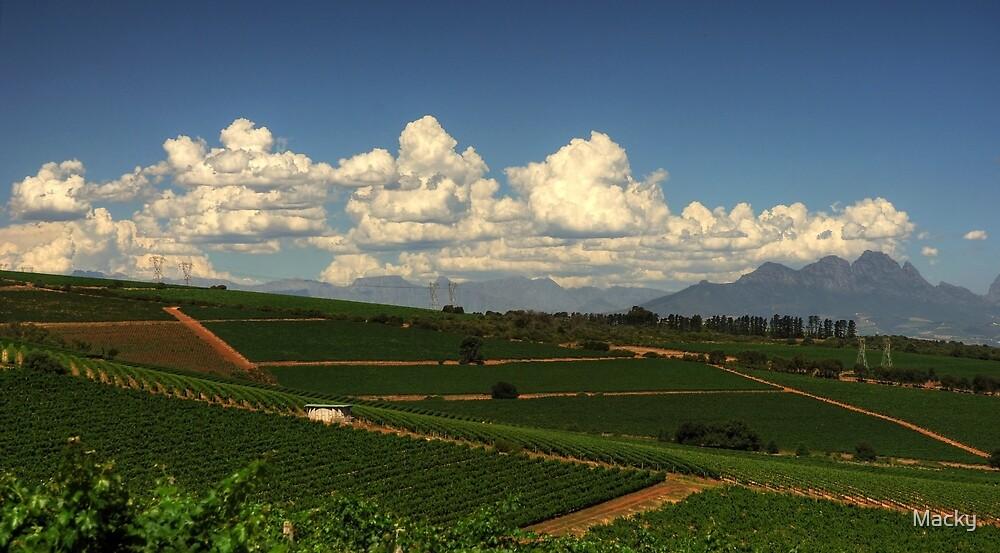 Cape Vineyards by Macky