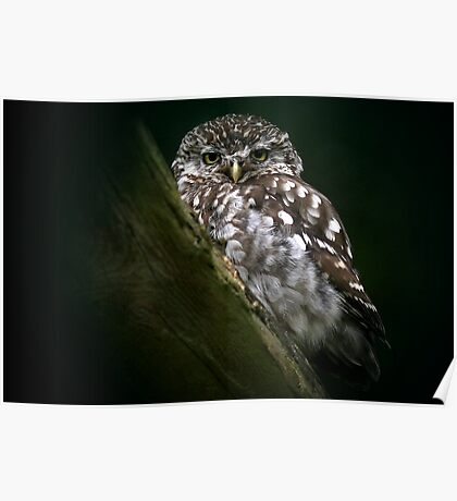 The Little Owl Poster