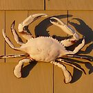 Crab in the morning Sun by LifeInMaine