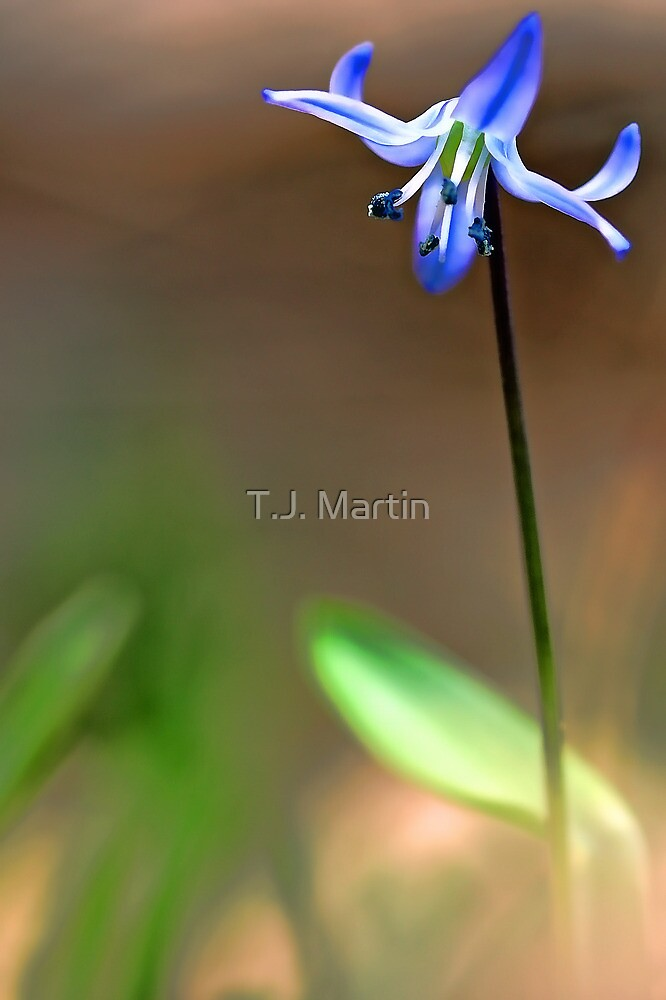 Spring Beauty - In The Afternoon Light by T.J. Martin