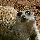 cheeky Meerkat by Sue-Ellen Cordon