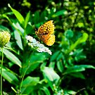 Great Spangled Fritillary 2 by Brook Winegardner