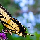 Tiger Swallowtail by Brook Winegardner