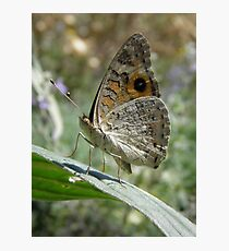 Meadow Argus Butterfly (Junonia villida) - Carrick Hill, South Australia Photographic Print