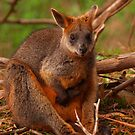 Wallaby on Phillip Island by Jay Armstrong