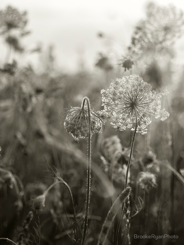 Queen Anne's Lace, No. 1 by BrookeRyanPhoto
