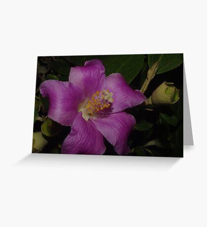 Mauve Beauty Lagunaria patersonia Greeting Card