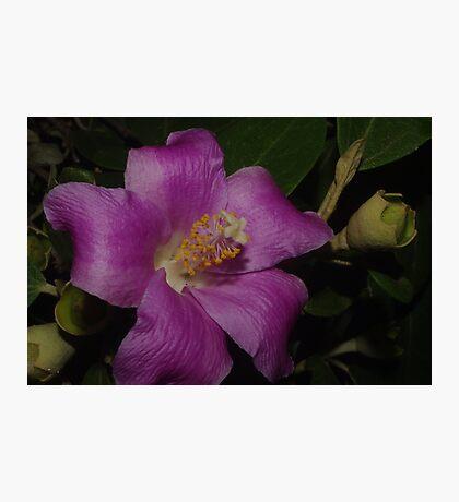 Mauve Beauty Lagunaria patersonia Photographic Print