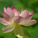 Sacred Lotus by yeuxdechat
