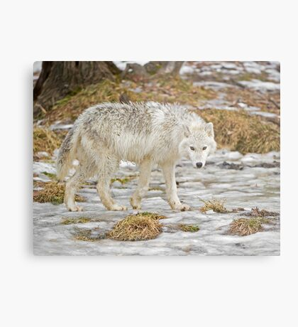 Wolf Walk Metal Print