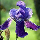 Tears of an Iris by katpartridge