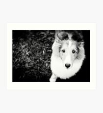 sheltie puppy Art Print