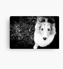 sheltie puppy Canvas Print