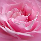 Pink Rose by Christopher Herrfurth