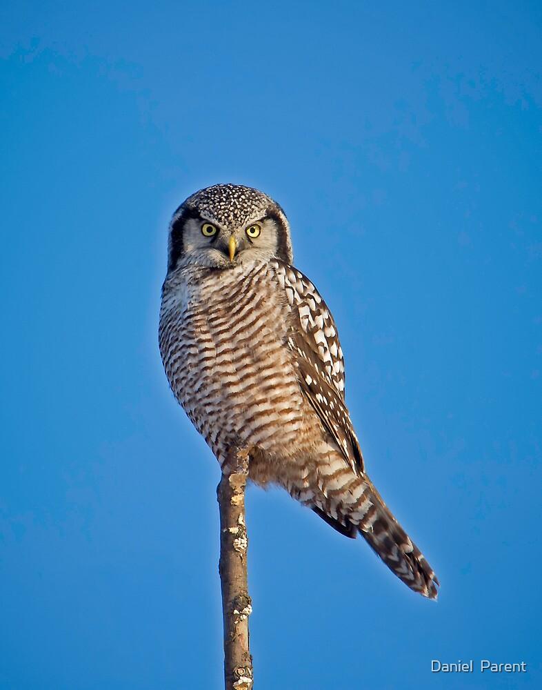 Perched Northern Hawk Owl  by Daniel  Parent