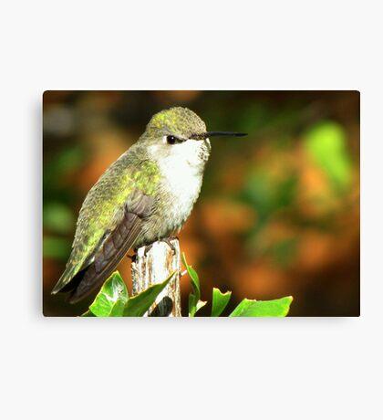 Hummingbird ~ Costa's (Female) Canvas Print