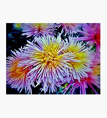 The star chrysanthemums Photographic Print