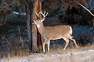 Whitetail aprancing by Rodney55