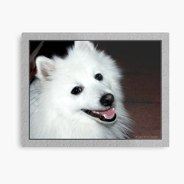 My Japanese Spitz  :-) Metal Print