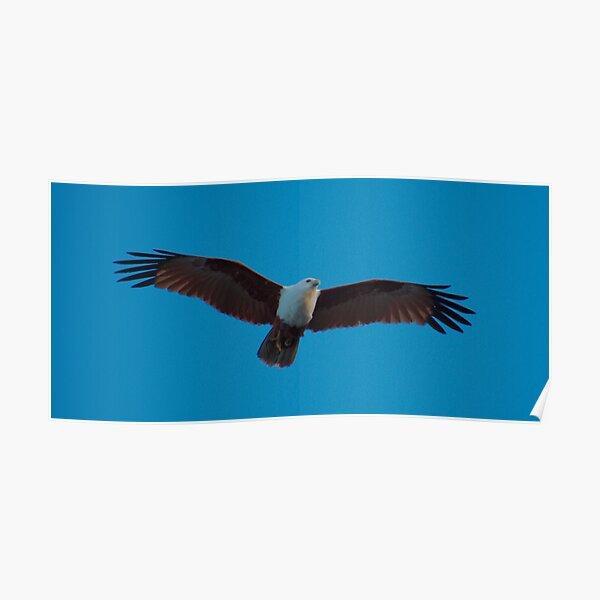 RAPTOR ~ SC ~ WO ~ Brahminy Kite by David Irwin 031019 Poster