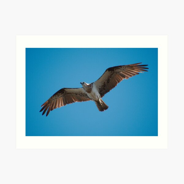 RAPTOR ~ WO ~ SC ~ Eastern Osprey 5 by David Irwin 031019 Art Print