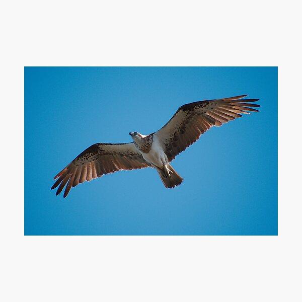 RAPTOR ~ WO ~ SC ~ Eastern Osprey C88TLZKW by David Irwin 031019 Photographic Print
