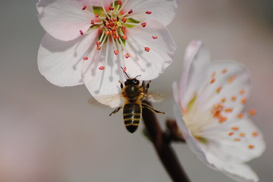 Bee in Flight collecting Pollen by Heather Samsa