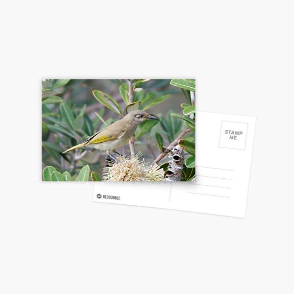 HONEYEATER ~ SC ~ Brown Honeyeater by David Irwin 031019 Postcard