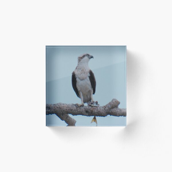 RAPTOR ~ SC ~ Eastern Osprey by David Irwin 031019 Acrylic Block